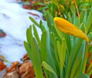 First Daffodils 2014