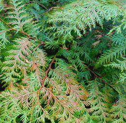 Healing Arborvitae