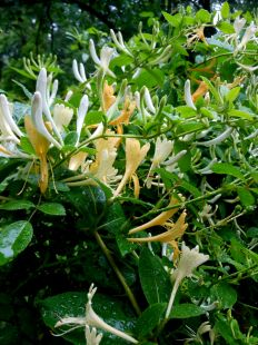 Honeysuckle. Wish I could smell them now!
