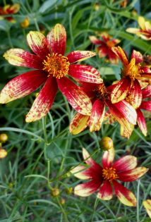 """Coreopsis """"Route 66"""""""