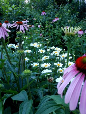 Echinacea and Daisy: a perfect match