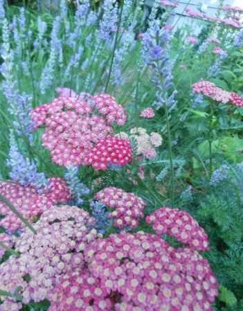 "Lavender and Achillea ""Pastels"""