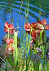 Pitcher Plant and Flowers