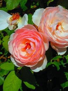 Rose Peach 2