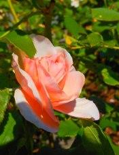 Rose Peach 3