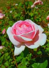 Rose Pink 3