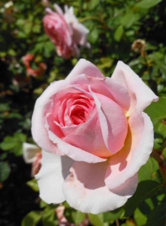 Rose Pink 4
