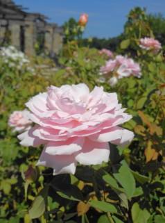 Rose Pink 5