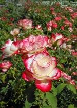 Rose Red White